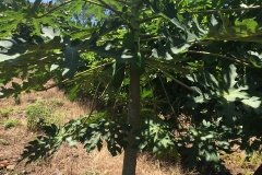 papaya tree surrounded by passion fruit vines trees